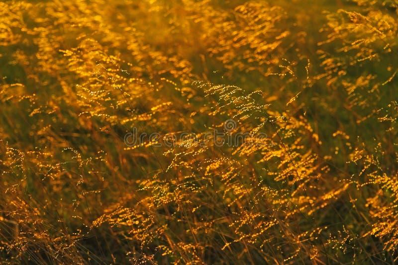 Hintergrundbeleuchtetes Grasland-Gras stockfoto
