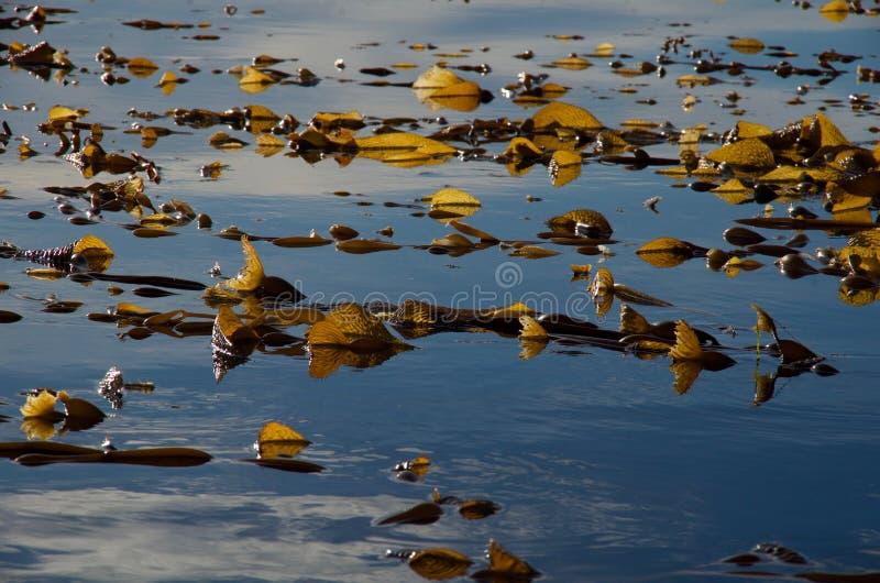 Hintergrundbeleuchtetes riesiges Kelp auf ruhigem blauem Meer stockbilder