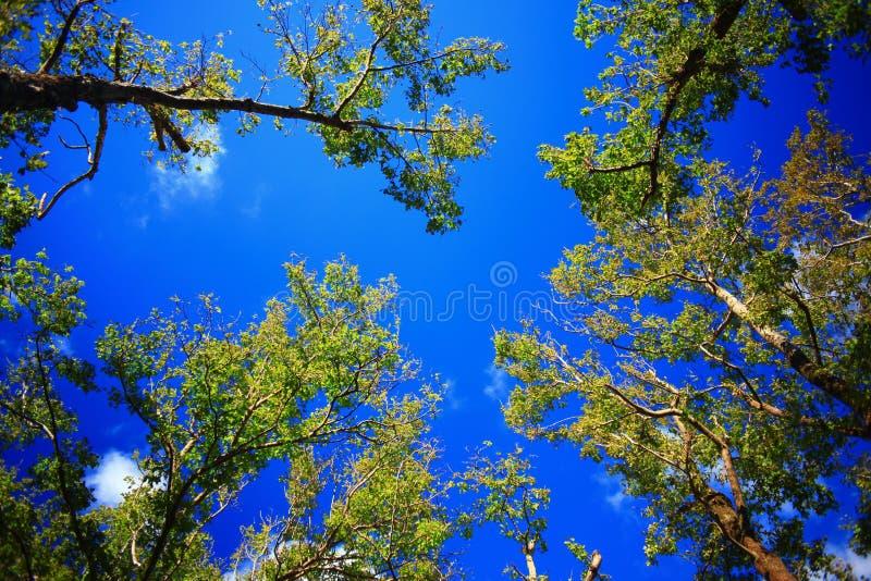 Hintergrundbild des grünen Baums und des blauen Himmels lizenzfreie stockfotos