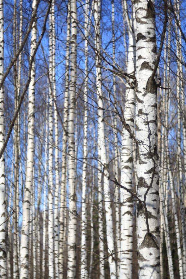 Hintergrundfrühlings-Birkenwald und blauer Himmel lizenzfreie stockfotos