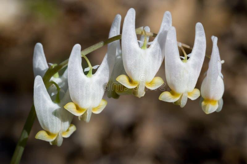 Hinterteile des Holländers - Dicentra cucullaria lizenzfreie stockfotografie