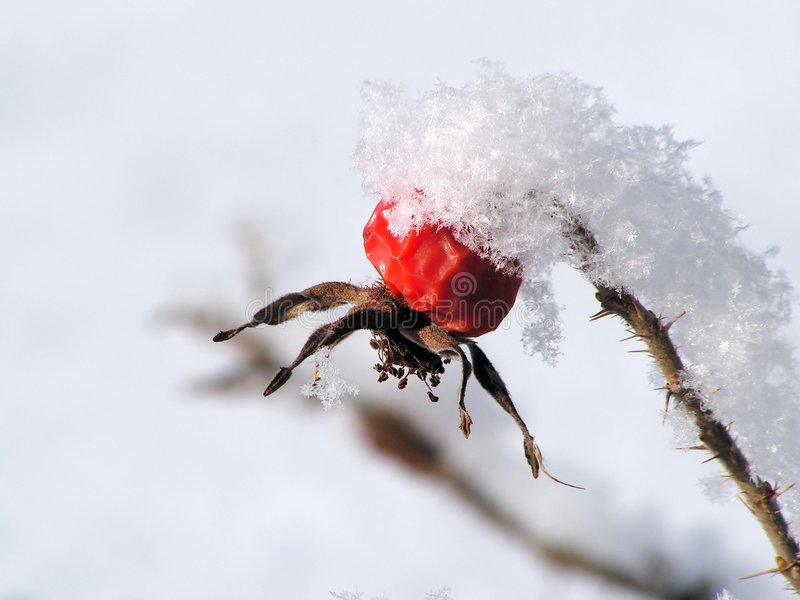 hip 1 rose śnieg zdjęcie stock