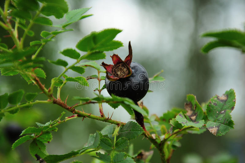 Hip of black rose on a branch royalty free stock images