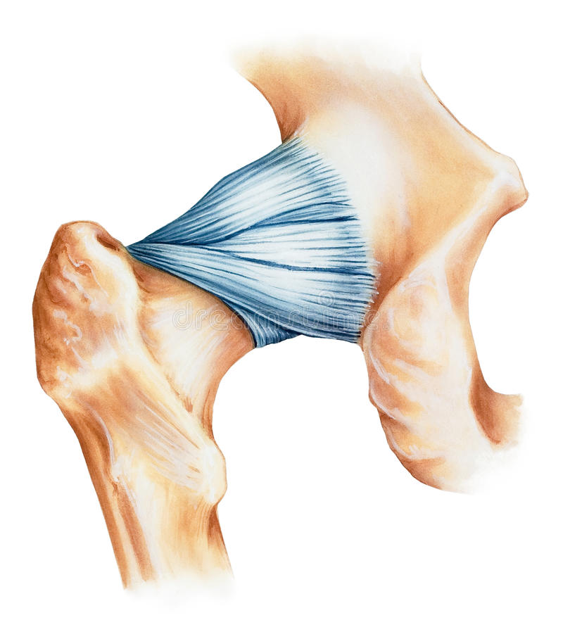 Hip - Joint Capsule Ligaments Stock Photo - Image of bones ...