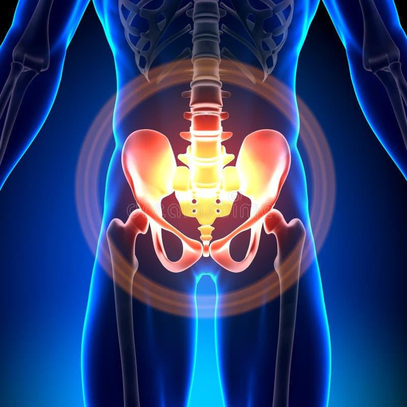 Hip / Sacrum / Pubis / Ischium / Ilium - Anatomy Bones vector illustration