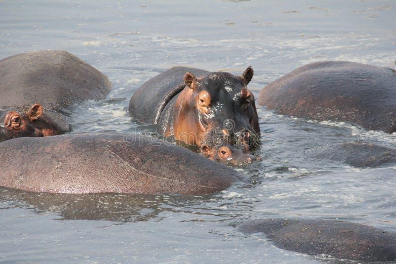 Hipo during day time at ruaha national park tanzania stock photography