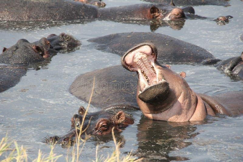 Hipo während der Tageszeit an ruaha Nationalpark Tanzania lizenzfreie stockbilder