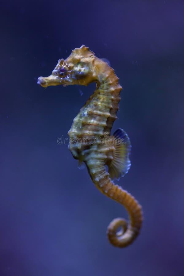 hipocampo Curto-snouted do hipocampo do cavalo marinho foto de stock royalty free