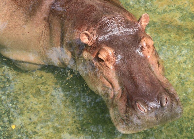 Hipopótamo fotografia de stock