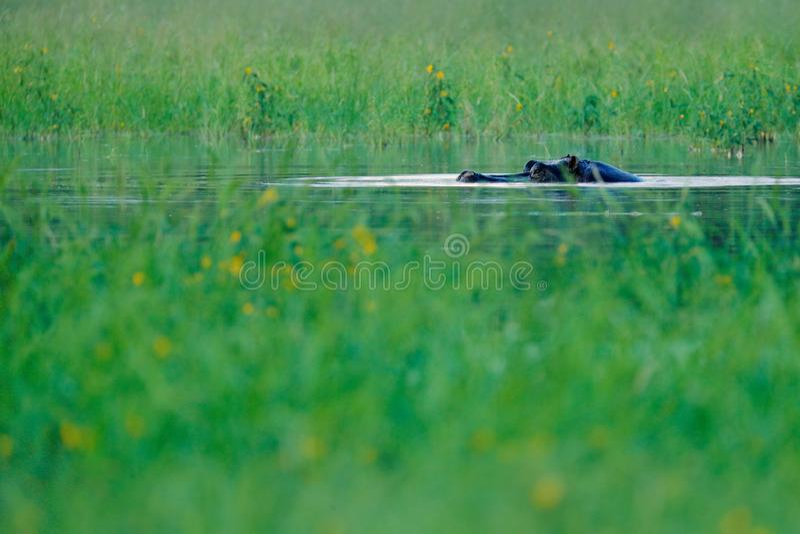 Hipopótamo africano, capensis do amphibius do hipopótamo, com sol da noite, animal no habitat da água da natureza, Okavango, Bots imagem de stock
