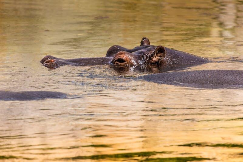 Hipopótamo africano em seu habitat natural kenya África fotografia de stock