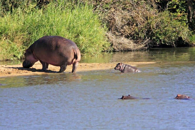 Hipopótamo africano selvagem fotos de stock