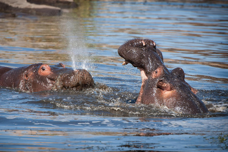 Hipopótamo (amphibius del hipopótamo) fotos de archivo libres de regalías