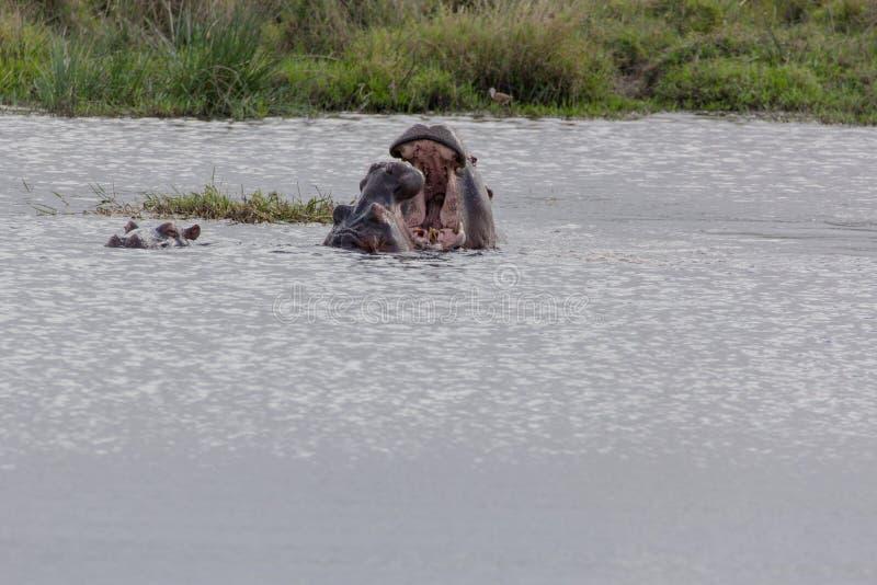 Hipopótamo - amphibius do hipopótamo fotos de stock royalty free