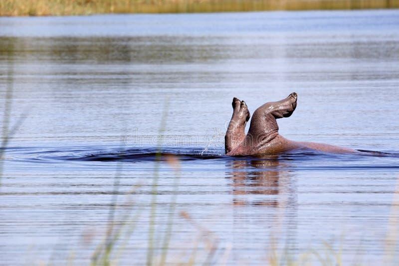 Hipopótamo, amphibius do hipopótamo, jogando em uma lagoa no parque nacional de Moremi, Botswana foto de stock