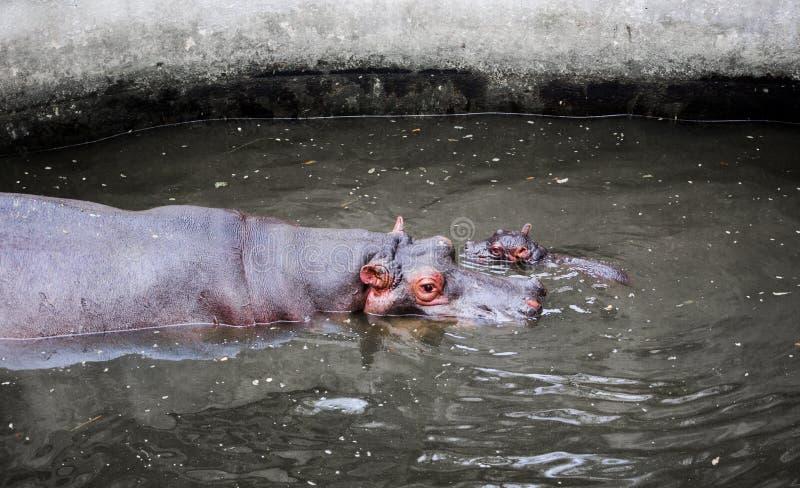 Hipopótamo com criança foto de stock royalty free