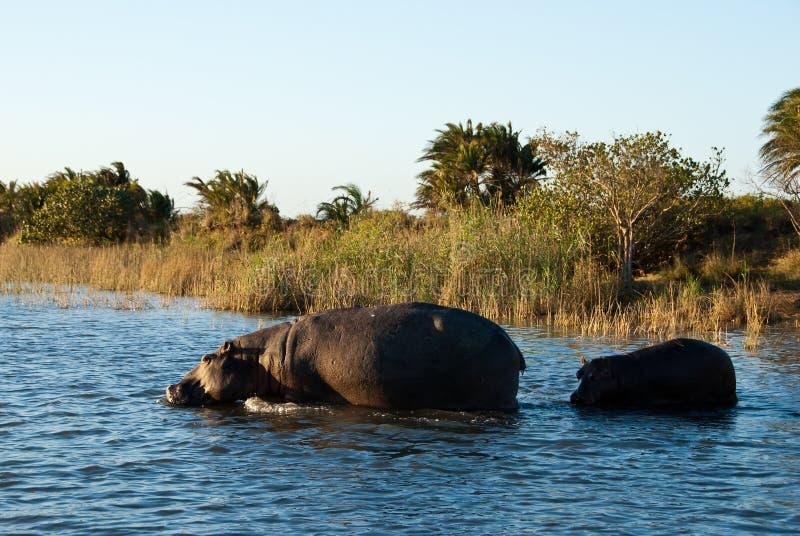 Hipopótamo con el becerro imágenes de archivo libres de regalías