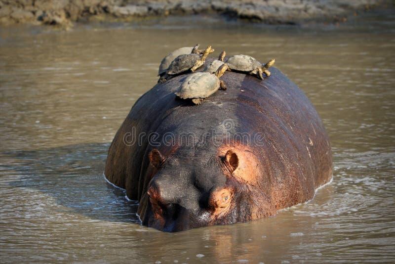Hipopótamo con las tortugas en la natación trasera en Sabie River, parque nacional de Kruger, Suráfrica fotos de archivo libres de regalías