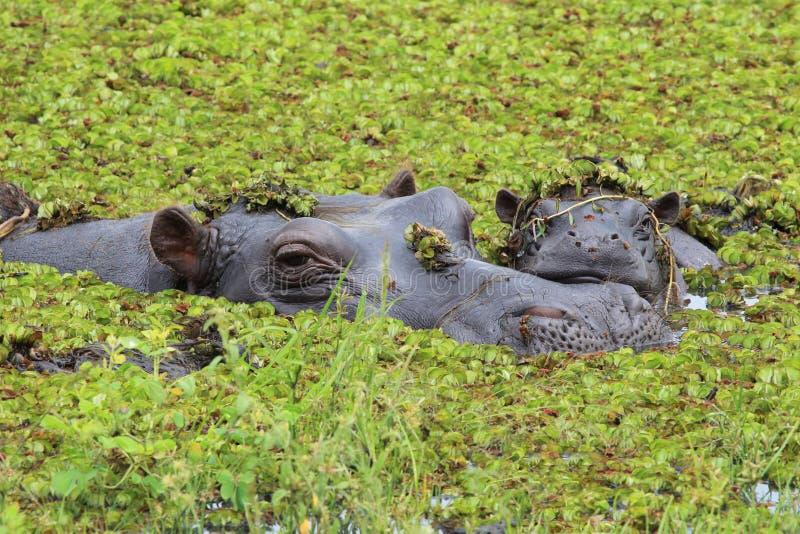 Hipopótamo de la madre y del bebé en el delta de Okavango de Botswana fotografía de archivo