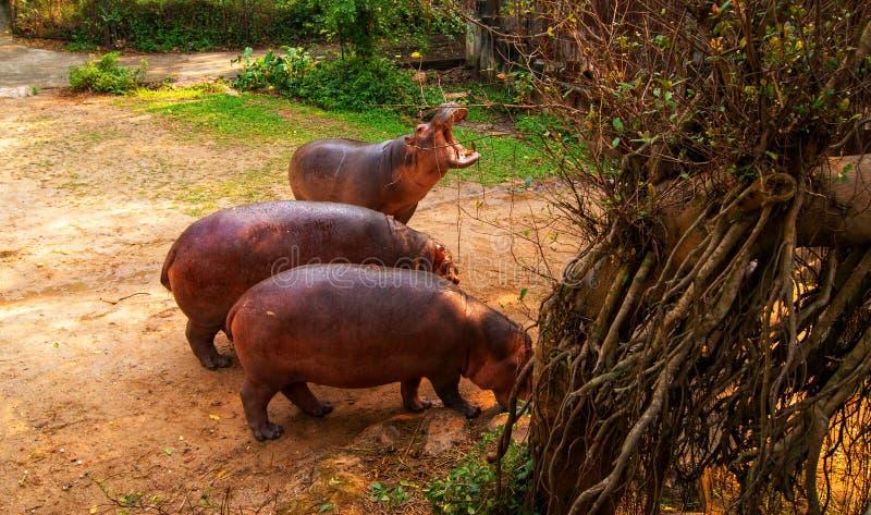 Hipopótamo del Pigmy que tiene un rasguño entre dos árboles imágenes de archivo libres de regalías