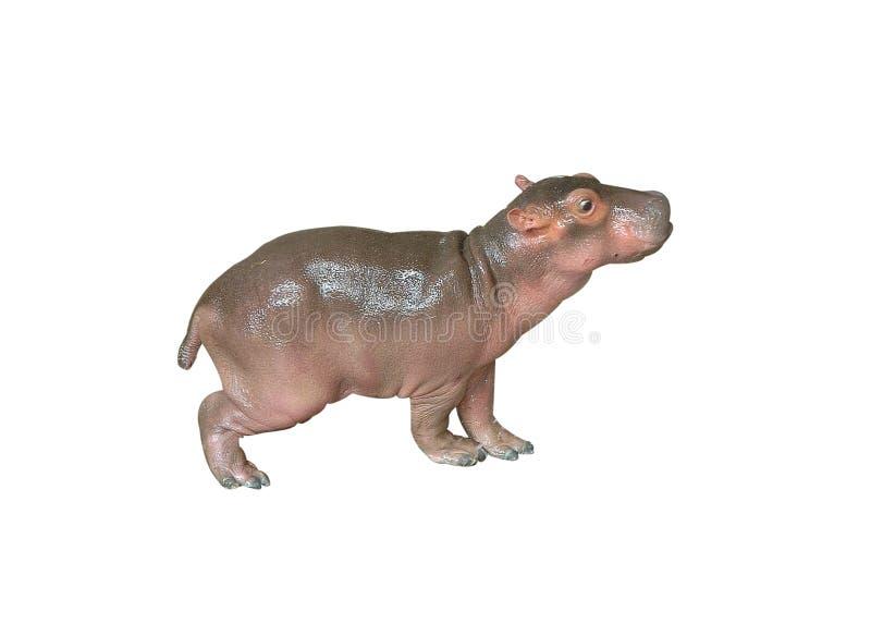 Hipopótamo do bebê foto de stock