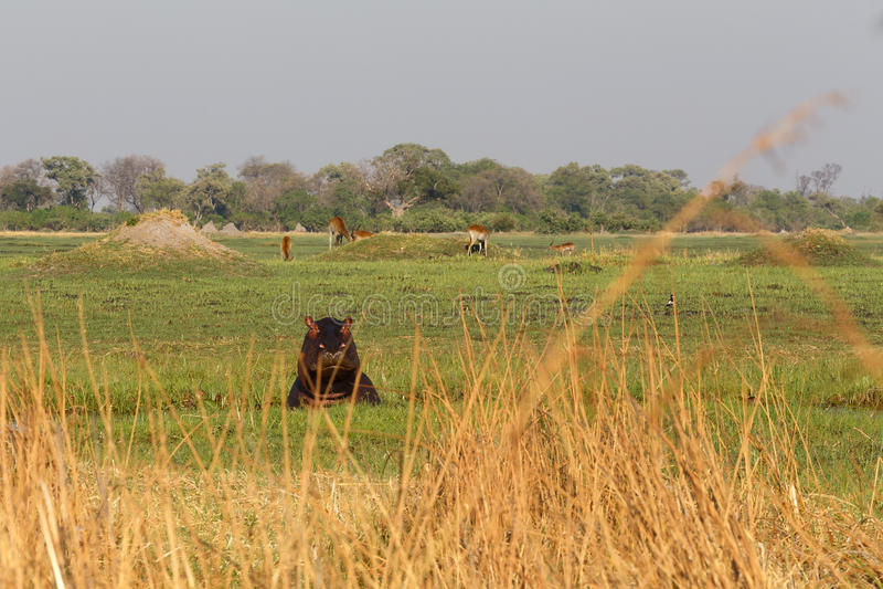 Hipopótamo do hipopótamo, delta de Okavango, Botswana África foto de stock royalty free