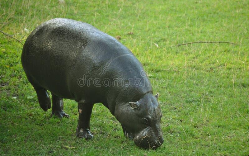 Hipopótamo do pigmeu fotos de stock royalty free