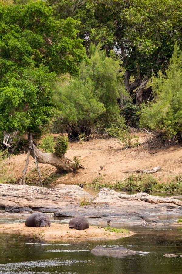Hipopótamo dos que descansa sobre el Riverbank, parque de Kruger, Suráfrica fotos de archivo