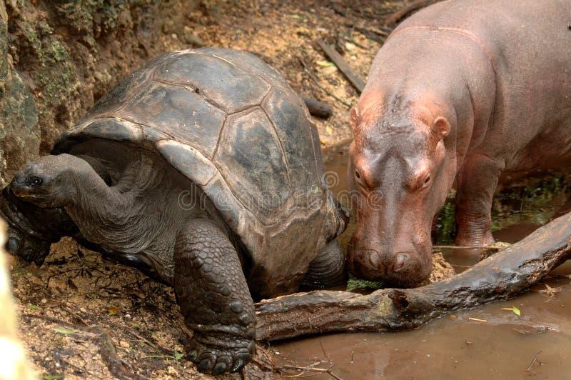 Hipopótamo e tartaruga gigante imagem de stock royalty free