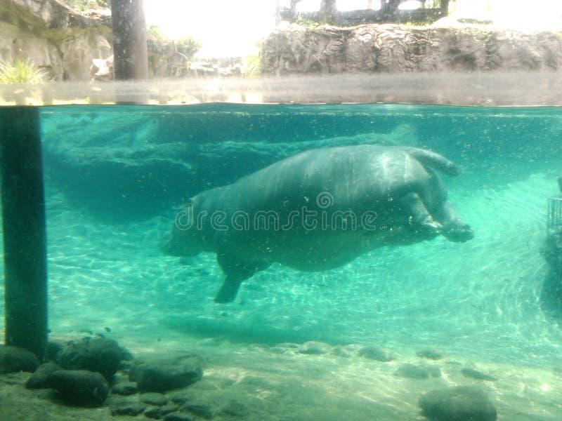 Hipopótamo em jardins de Busch imagens de stock