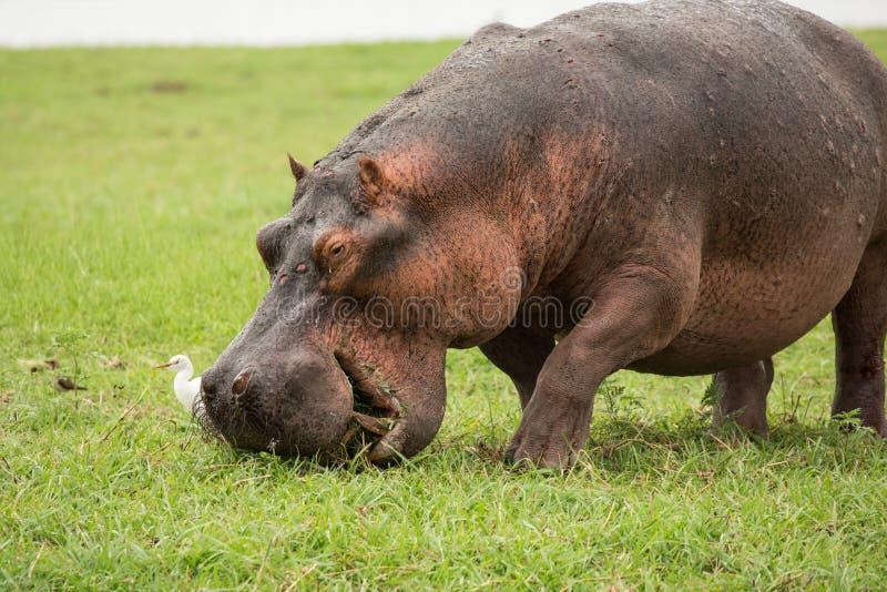 Hipopótamo en África fotos de archivo