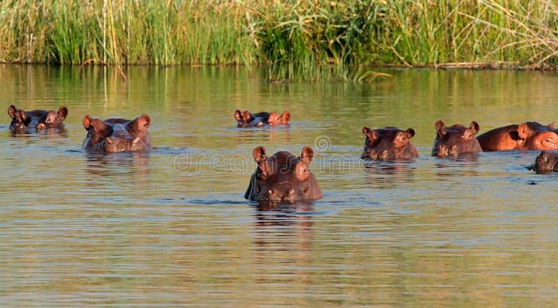 Hipopótamo en agua imagenes de archivo