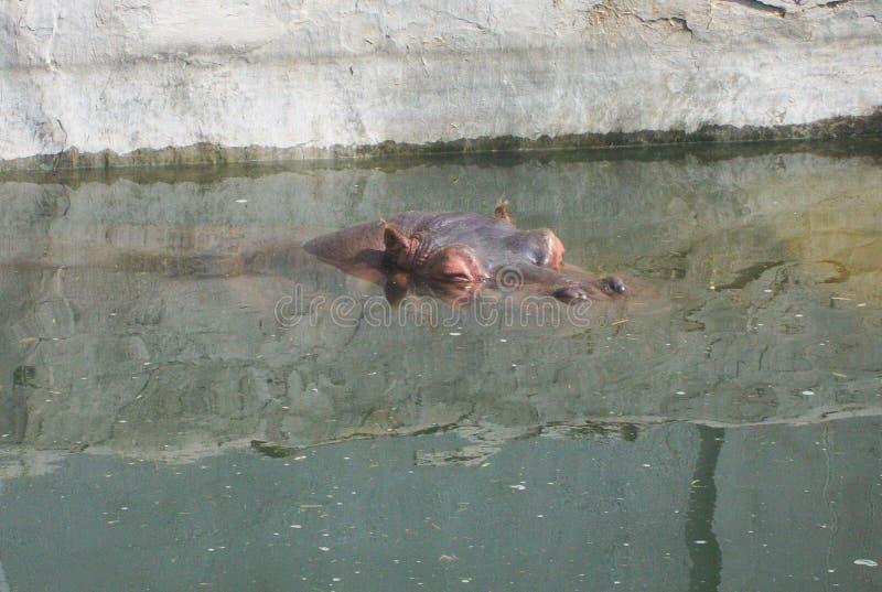 Hipopótamo en la charca fotos de archivo libres de regalías