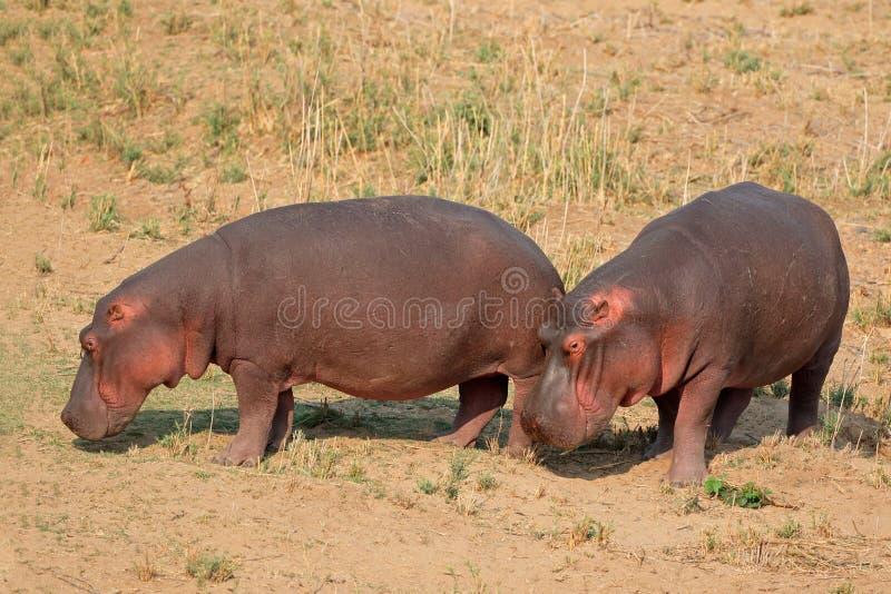 Hipopótamo en tierra foto de archivo libre de regalías