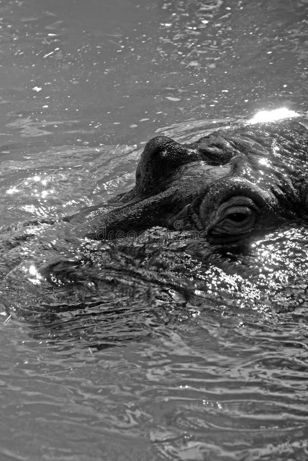 Hipopótamo escondido imagem de stock royalty free