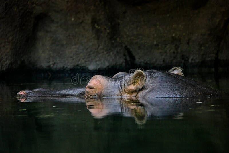 Hipopótamo escondido na água imagem de stock royalty free