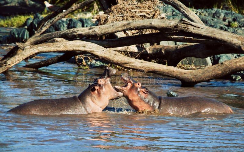 Hipopótamo, hippopotamus que lucha en el río. Serengeti, Tanzania, África foto de archivo