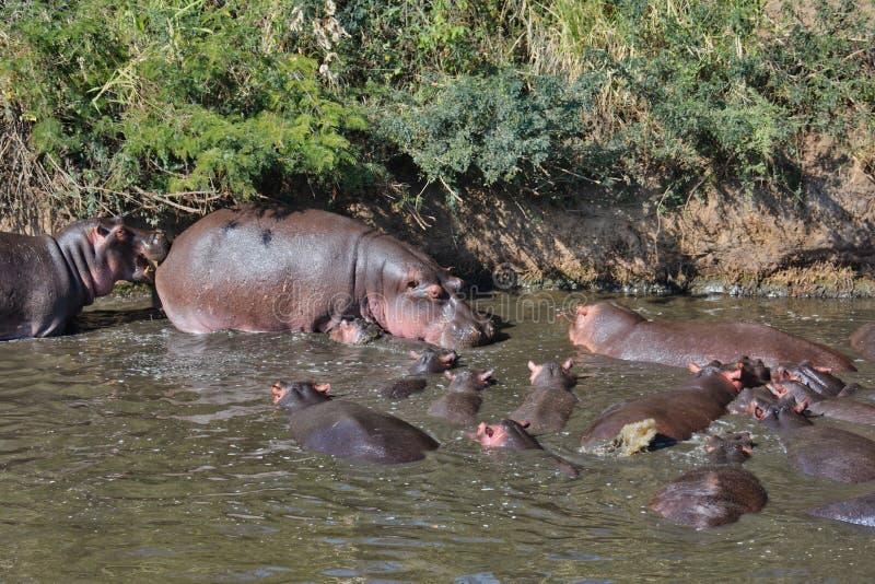 Hipopótamo medio con su boca abierta contra el lado trasero de un hipopótamo enorme en una piscina del hipopótamo fotografía de archivo libre de regalías