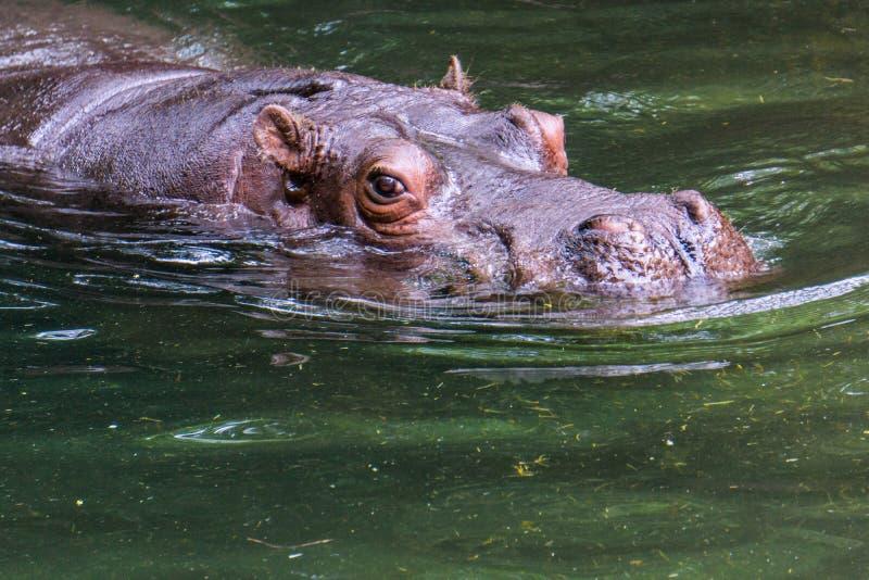 Hipopótamo na água fotos de stock royalty free