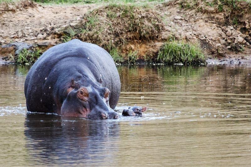 Hipopótamo na água foto de stock