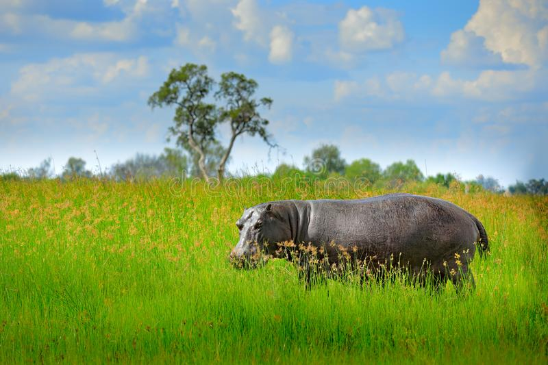 Hipopótamo na grama, estação verde molhada Hipopótamo africano, capensis do amphibius do hipopótamo, delta de Okavango, Moremi, B fotografia de stock