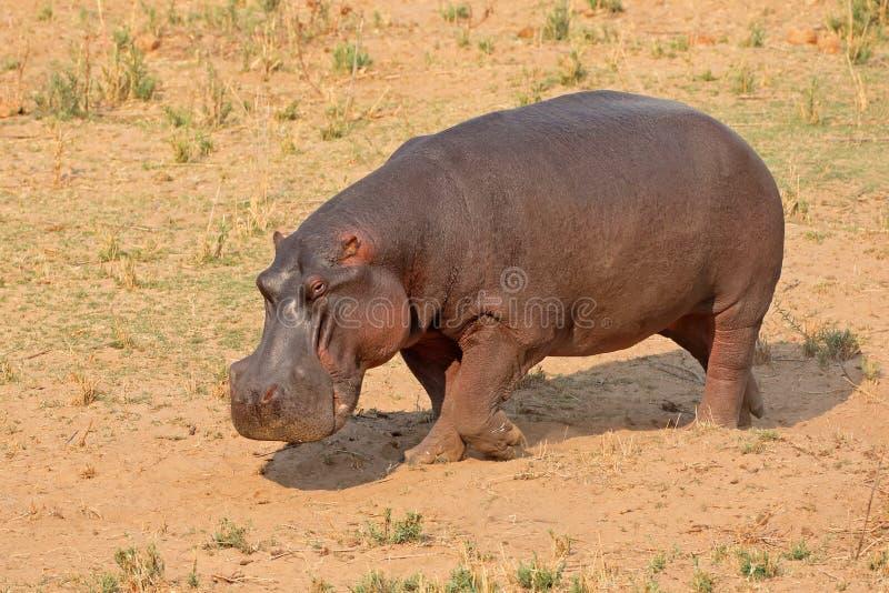 Hipopótamo na terra foto de stock