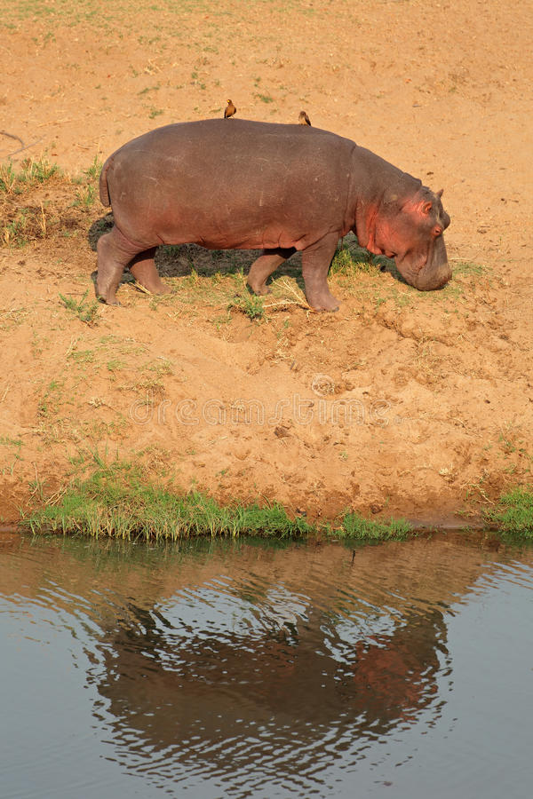 Hipopótamo na terra foto de stock royalty free