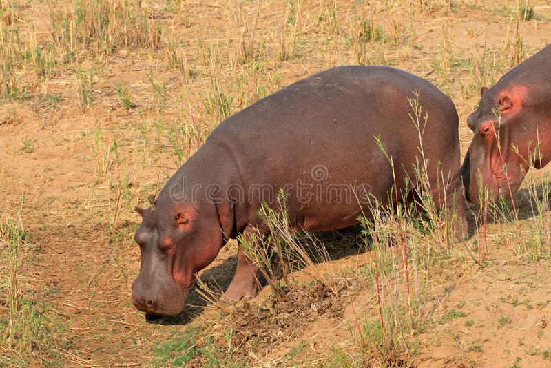 Hipopótamo na terra fotografia de stock