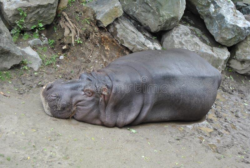Hipopótamo na terra fotografia de stock royalty free