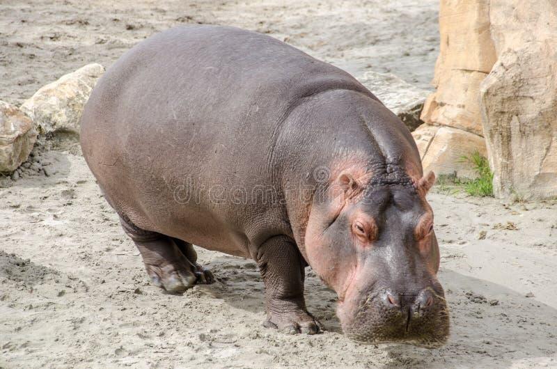 Hipopótamo na terra imagem de stock royalty free