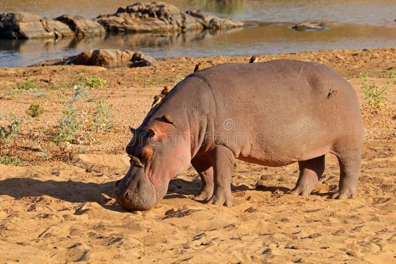 Hipopótamo na terra - parque nacional de Kruger fotos de stock royalty free