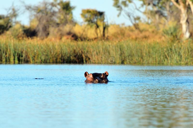 Hipopótamo no delta de Okavango, Botswana imagem de stock
