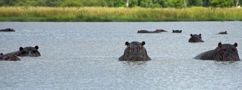 Hipopótamo no delta de Okavango - parque nacional de Moremi imagens de stock
