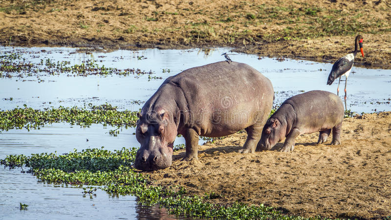 Hipopótamo no parque nacional de Kruger, África do Sul imagens de stock royalty free